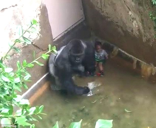 why are people more concerned about a rare gorilla than a black