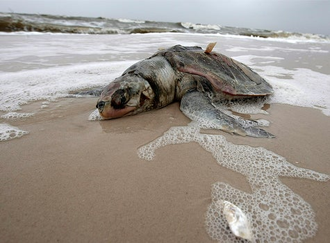 oil-spill-seaturtle-475x350.jpg